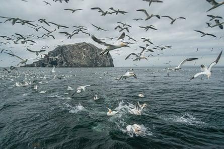 Gannets feeding off Bass Rock, Scotland.
