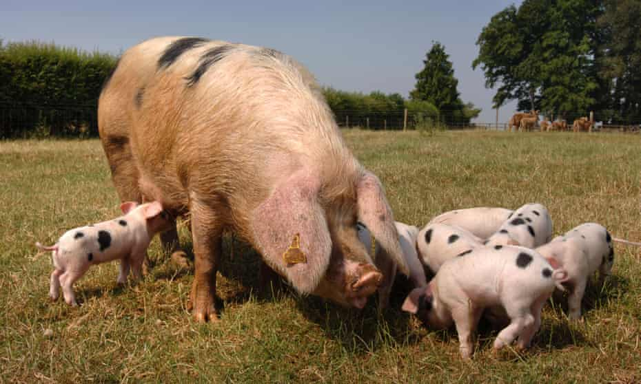 A Gloucester Old Spot sow with piglets