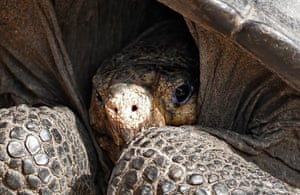 A specimen of the giant Galapagos tortoise, thought to have gone extinct about a century ago, at the Galapagos National park on Santa Cruz island in the Galapagos archipelago, in the Pacific ocean