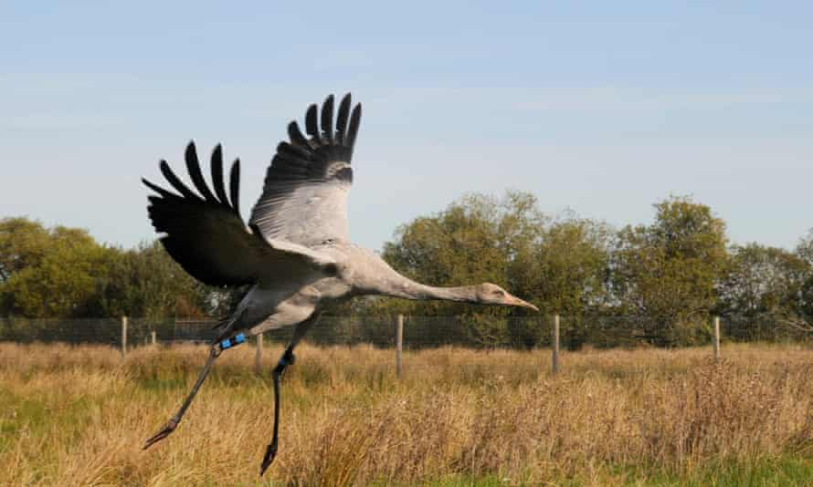 A recently released young crane landing in a fox-proof enclosure on the Levels.