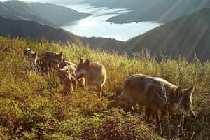 Wolves captured on a camera trap in a nature reserve in Siberia.