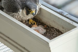 16/05/2015 This year four eggs were laid and all of them hatched and successfully fledged – one male and three females. Males are smaller than females.