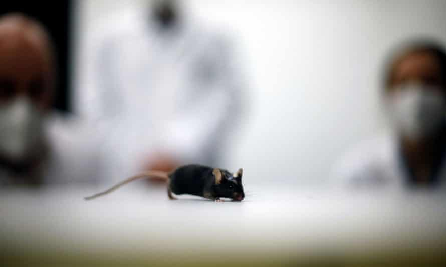 File photo of a mouse in a university lab