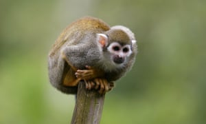 Squirrel monkeys are on the dangerous animals list.
