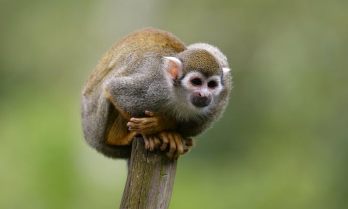 No more monkey business: why primates should never be pets | Life