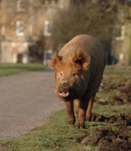 Tamworth pig.