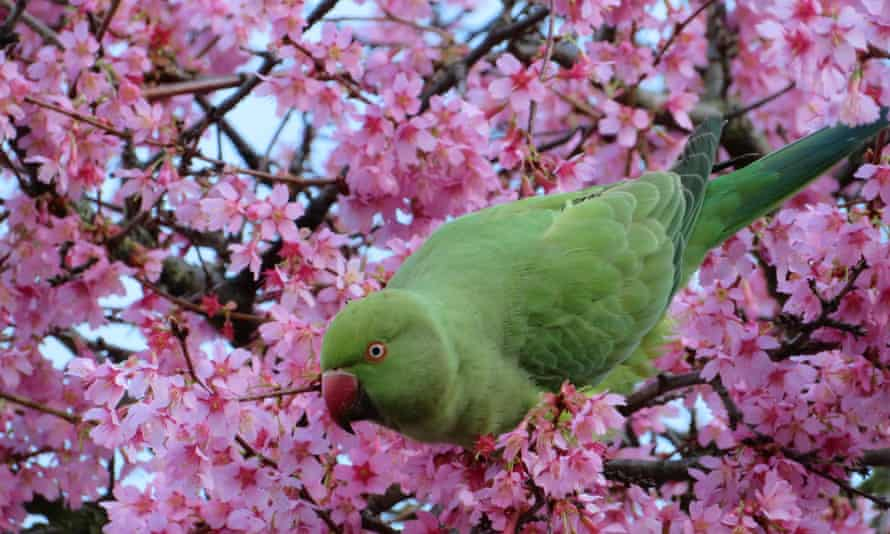 Blossoming trees near Victoria Park with a parakeet