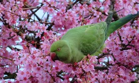 A parakeet near Victoria Park, London.