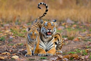 Individuals and populations category winner: Nilanjan Chatterjee, a tiger with her cub.