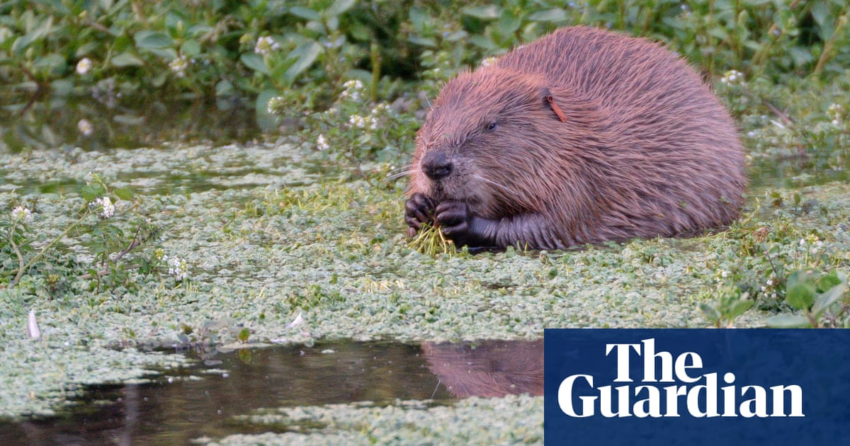 Beavers to make 'cautious' return to England with legal protection