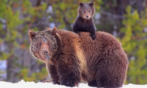 A US judge ordered that grizzly bears living in and around Yellowstone be returned to the endangered species list.