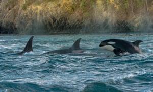 Orcas dive through the Salish Sea.