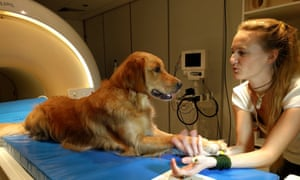The scientists trained 13 dogs to lie motionless inside an fMRI machine, in order to probe how they process human speech.