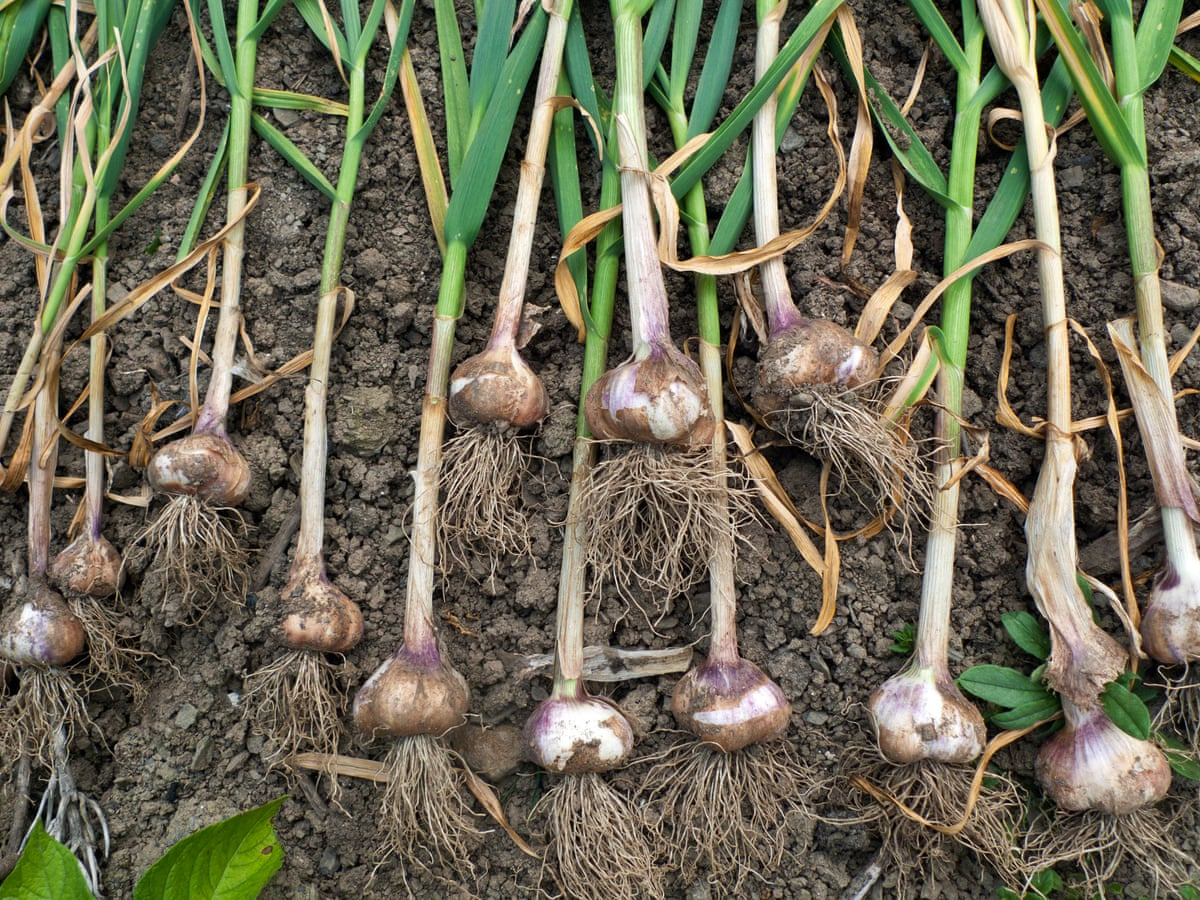 How to grow the best garlic | Gardening advice | The Guardian