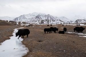 Yaks roam a field near Sary-Mogol, with Lenin peak in the background.