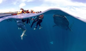 Tourists and whale shark, Oslob, Philippines