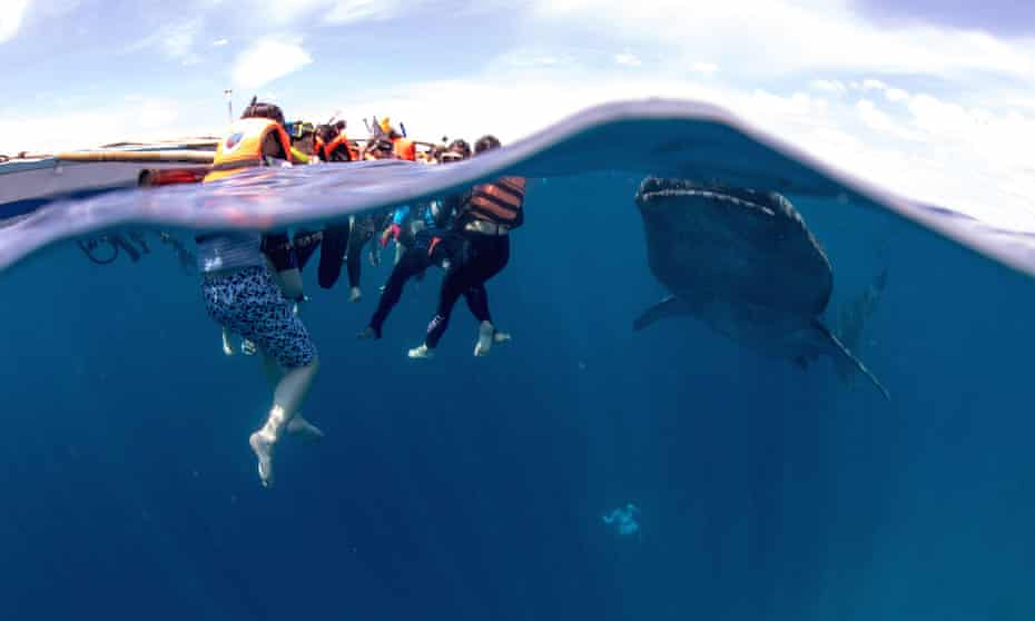 Tourists and whale shark, Oslob, Philippines