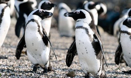Jackass Penguins, at the colony at Robben Island