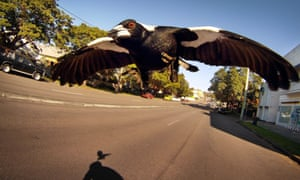 A magpie swoops a cyclist