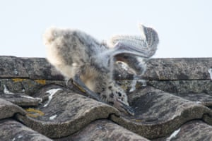 West Wittering, UK: A young seagull's failed flying attempts on a rooftop in the seaside village