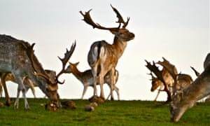Fallow deer feeding on beet at Attingham Park, Shropshire. The herd is accustomed to human visitors though still cautious.