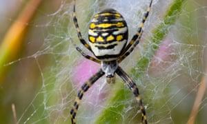 Wasp spider.