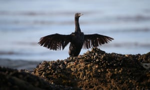 sea bird struggles after being covered in oil from a spill