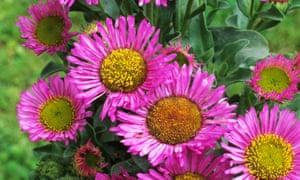Erigeron glaucus 'Sea Breeze': perfect for gravel gardens.