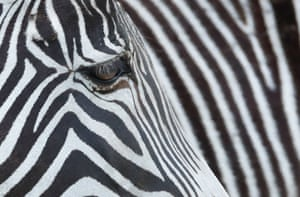 Woburn safari park, UK: a zebra is seen at the park before its reopening on 12 April