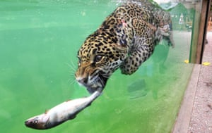 A jaguar about to feed on a fish in its pool at Pessac zoo in Bordeaux, France