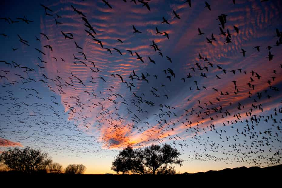 Snow Geese (Chen caerulescens) in flight, silhouetted against colourful dusk sky. Bosque del Apache, New Mexico, USA, November.E465HB Snow Geese (Chen caerulescens) in flight, silhouetted against colourful dusk sky. Bosque del Apache, New Mexico, USA, November.