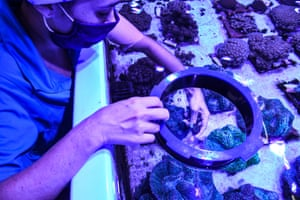 A biologist works with rescued corals in a tank