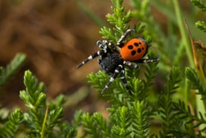 A ladybird spider, one of 20 species targeted in a countywide scheme to save England's rare species from extinction