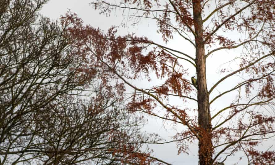 Green woodpecker on fir tree