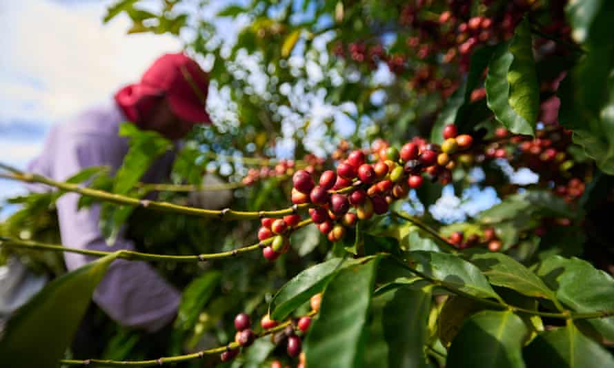 Coffee beans at harvest time at a farm in southern Minas Gerais