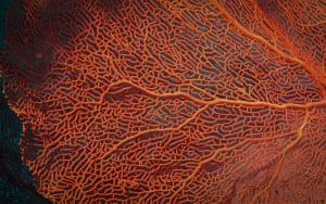 A large red gorgonian fan in the mesophotic zone of Ashmore Reef. Like other corals, gorgonians have polyps. The polyps have tentacles arranged as a pennate, which means they have one main tentacle with branches off of it, like a feather. They can withdraw into the leathery tissue of the coral.