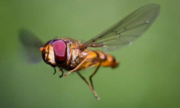 A marmalade hoverfly in flight.