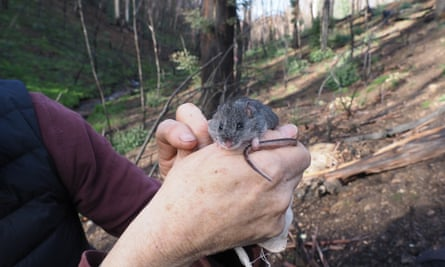 The critically endangered smoky mouse has survived the massive Dunns Road fire in early 2020.