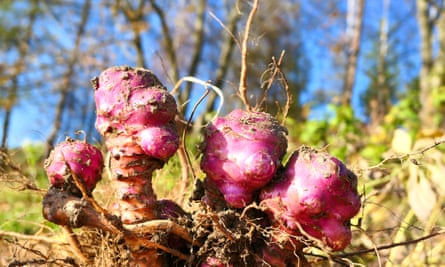Above ground: Jerusalem artichoke root bulbs
