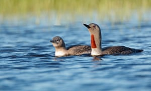 Red-throated diver with chick