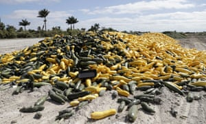 A pile of ripe squash sits in a field in Homestead, Florida.