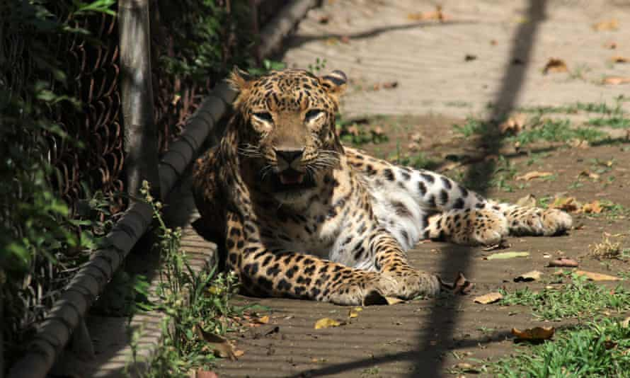 Leopard in Indian zoo
