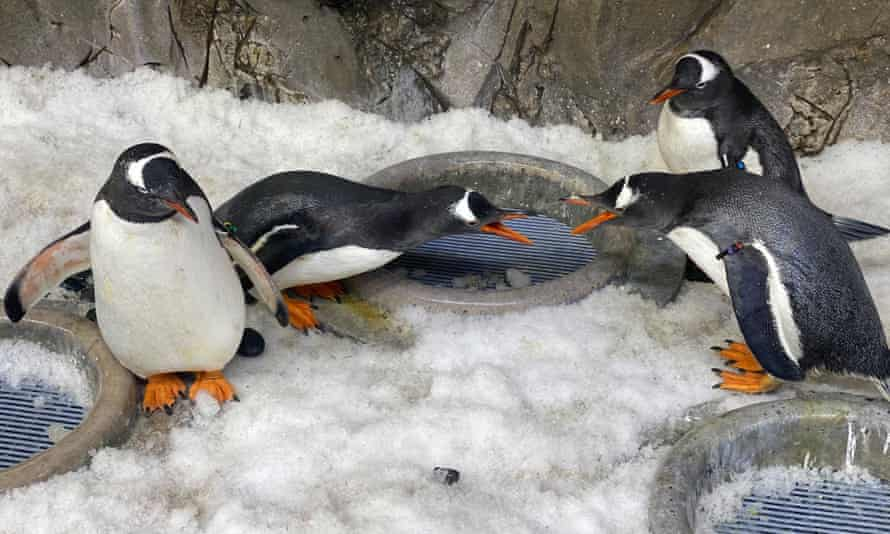 Loved up penguin couples Jones and Klaus and Tiger and Branston will spend nesting season together.