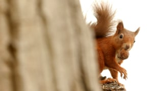 A red squirrel collects a nut from a tree in Pitlochry