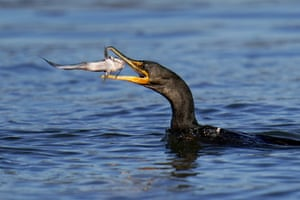 Havre de Grace, US A double-crested cormorant prepares to eat a fish it pulled from the Susquehanna river near in Maryland