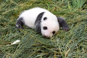 Taipei, Taiwan A panda cub born at Taipei zoo. The zoo has invited the public to come up with a name for the cub