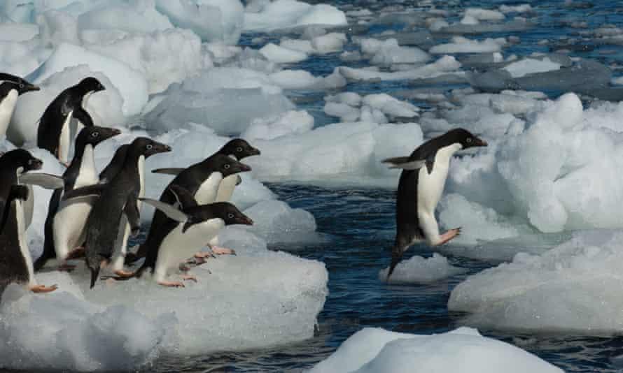 A group of Adélie penguins