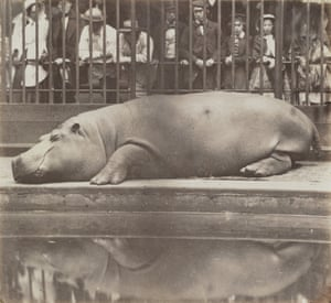 Sleeping giant … the shot of the Queen's hippo, on show at the Victoria and Albert's new Photography Centre.