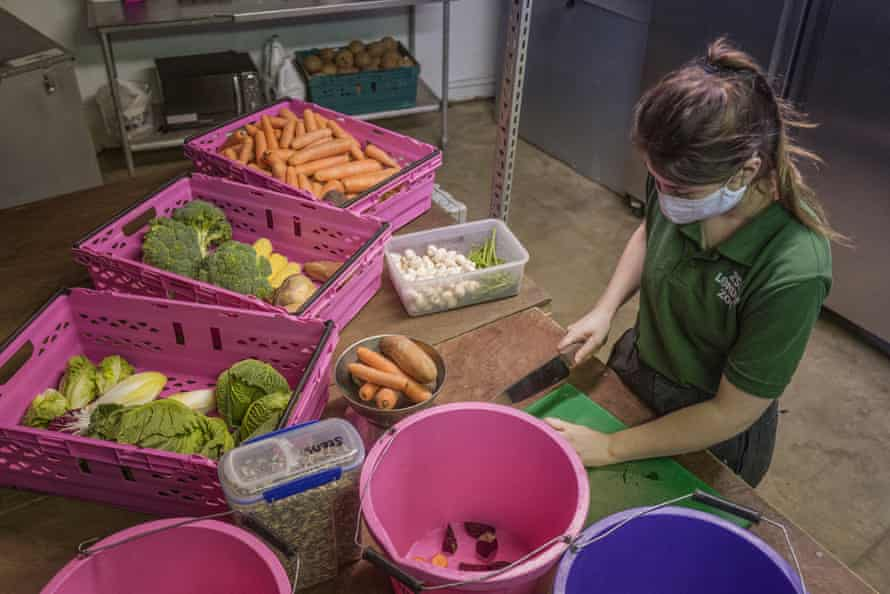 A keeper preparing the lunchtime feed specifically for the Red River Hogs. Food delivery at London Zoo includes, but is not limited to, 50 boxes oof sweet potato, 3000 cucumbers, 300 melons, and 215. corn on the cobs.