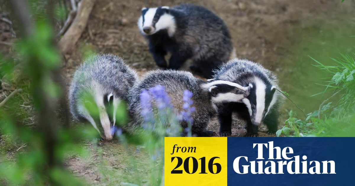 Bovine TB not passed on through direct contact with badgers, research shows